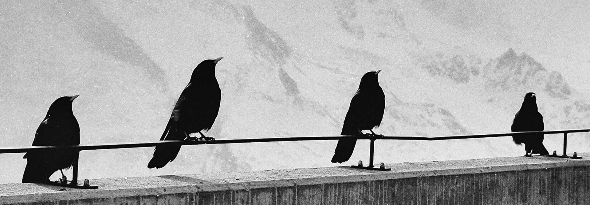 Corvid.Studio - Photo of ravens on fence by Samuel Zeller - Unsplash image