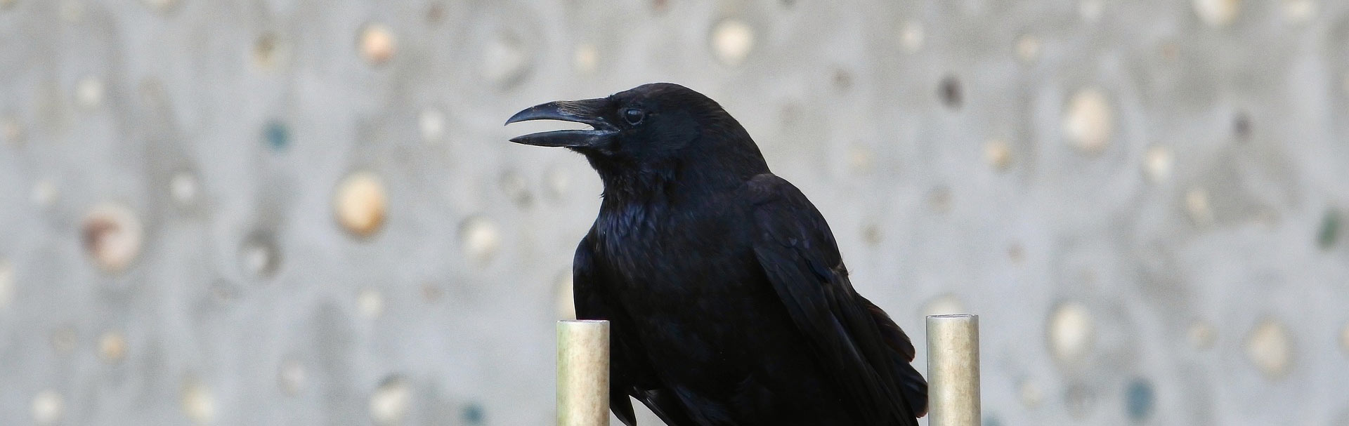 Image of a raven. Image from Pixabay.