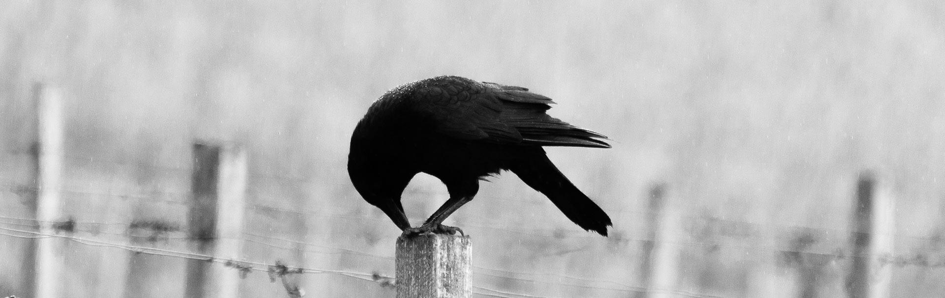Corvid.Studio Website Maintenance - Photo of crow on fence post - Unsplash image by Hannes Wolf
