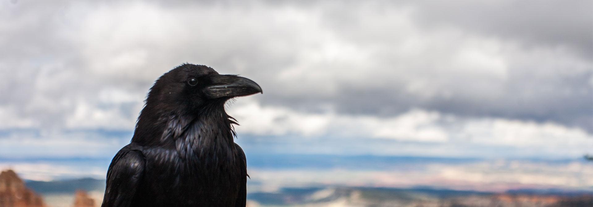 Corvid.Studio - Photo of crow by Tyler Quiring - Unsplash image